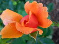 Julian-Orange-Rose