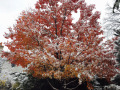 Meehan-Snowy-Red-Maple