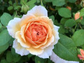 18-Orange-Rose-Julian-C