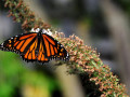 3-Monarch-Buddlea-Cleland