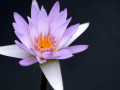 39-Water-Lily-OHayer-K
