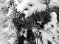 45-Chives-in-Snow-Plasz-A