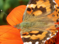 52-Painted-lady-Mexican-Sunflower-Plasz-S