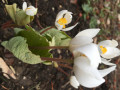 Jerry-Bloodroot
